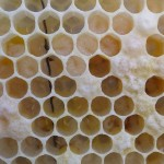 In this magnification you can see eggs (they look like rice), larvae (the look like grubs) and the capped cells.